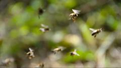 Insects Honey Bees Flying Stock Footage
