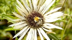 Carline thistle with bumblebee Stock Footage