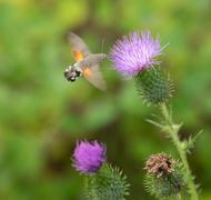 Hummingbird hawk-moth - stock photo