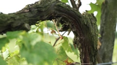 Grape, wine-growing Stock Footage