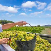 chardonnay harvesting with wine grapes harvest - stock photo