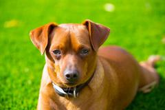 Mini pinscher brown dog portrait laying in lawn - stock photo