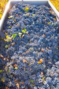 Mediterranean vineyard harvest   cabernet sauvignon grape field Stock Photos