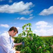 Winemaker oenologist checking Tempranillo wine grapes Stock Photos
