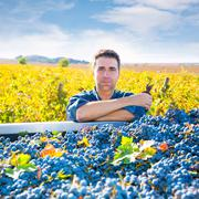 Mediterranean vineyard farmer harvest cabernet sauvignon - stock photo