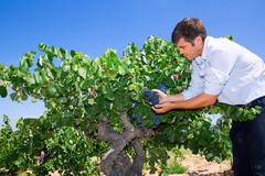 Winemaker oenologist checking bobal wine grapes Stock Photos
