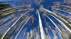 Aspens with blue sky Stock Footage