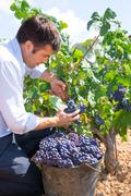 Bobal harvesting with harvester farmer winemaker - stock photo