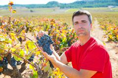 Winemaker harvesting Bobal grapes in mediterranean - stock photo