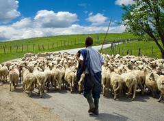 Shepherd with his sheep herd Stock Photos