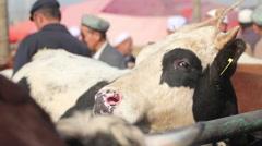 Cow at Kashgar Livestock market, China Stock Footage