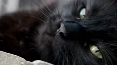 Black Chantilly tiffany cat Stock Footage