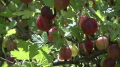 gooseberry bush closeup - stock footage