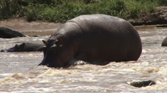 A hippo trying to walk on rocky river Stock Footage