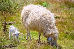 Mother sheep and baby lamb grazing in a field - stock photo