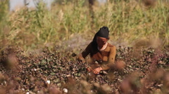 Harvesting cotton crop, Uyghur woman, China Stock Footage