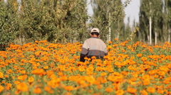 Field of orange flowers, floriculture, China Stock Footage
