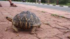 Stock Video Footage of Elongated Tortoise - Indotestudo elongata