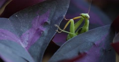Mantis Religiosa Is Climbing Slowly to the Leaf Raising The Legs Macro is - stock footage