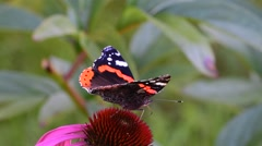 Red admiral,a well-known colourful butterfly - stock footage