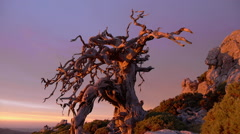 The old tree, Stock Footage