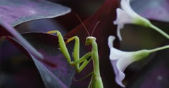 Stock Video Footage of Mantis Religiosa Vertically Is Climbing To Violet Leaves Antennas White Flowers