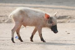Stock Photo of Pink piglet with muddy feet and snout