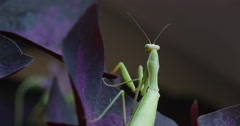 Stock Video Footage of Mantis Religiosa Turns His Head Climbing to Violet Leaves Blurred Background