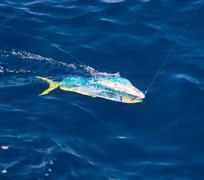 Dorado Mahi-Mahi fish hooked with fishing line Stock Photos
