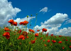 Numerous red poppies on green field - stock photo