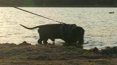 Dachshund walks on water Stock Footage