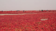 Chinese agriculture, harvesting crops Stock Footage