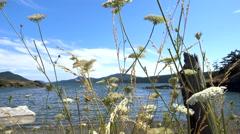 Bee on flowers on Orcas Island Stock Footage