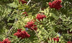 Mountain Ash tree Sorbus aucuparia with berries - stock photo