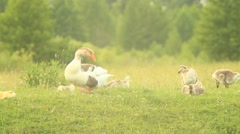 Young goslings with paterns on the grass Stock Footage