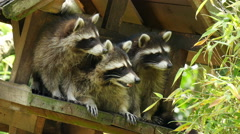 Three North american raccoon (procyon lotor)playing in treehouse 4K UHD Stock Footage