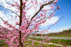 Spring almond tree flowers in Sierra de Espadan Castellon - stock photo
