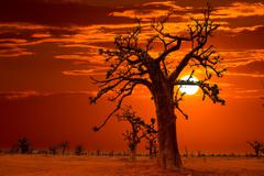 Africa sunset in Baobab trees colorful - stock photo