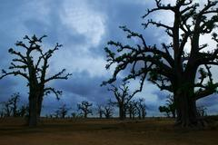 Africa Baobab trees in a cloudy day - stock photo