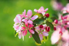 Beautiful apple tree flowers Stock Photos