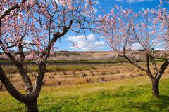 Denia Javea in spring with almond tree flowers Alicante - stock photo