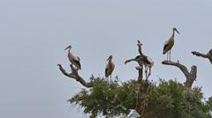 Storks on tree Stock Footage