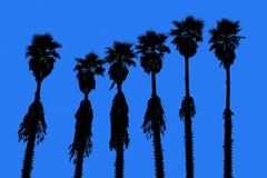 California palm trees washingtonia western surf flavour Stock Photos