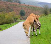 Cows in love pretending intercourse in Pyrenees road - stock photo