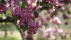 Close up of Crabapple blossoms swaying in wind Stock Footage