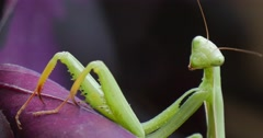 Mantis is Moving The Antennas Sitting on Violet Leaf Plant Leaves European Stock Footage