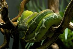Emerald tree boa wrapped around a branch Stock Photos