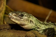 Utila spiny-tailed iguana in close-up on log - stock photo