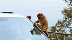 Barbary Ape on Gibraltar rock. Sitting on turist car Stock Footage