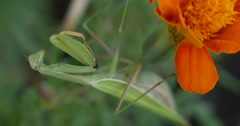 Green Mantis is Not Moving Praying Mantis Mantis Religiosa Is Sitting On The Stock Footage
